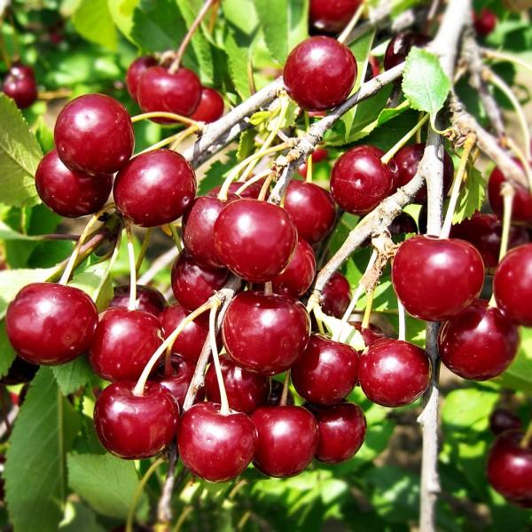 Pomi fructiferi - Visin Ujfehertoi Furtos