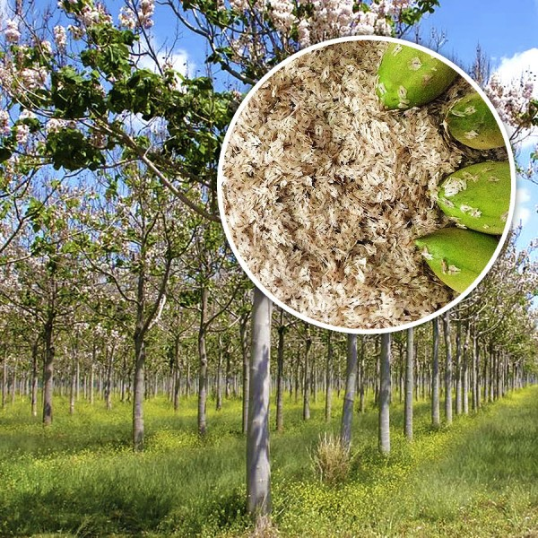 Seminte - Paulownia Elongata (1gr) - Seminte hobby - AgroDenmar.ro