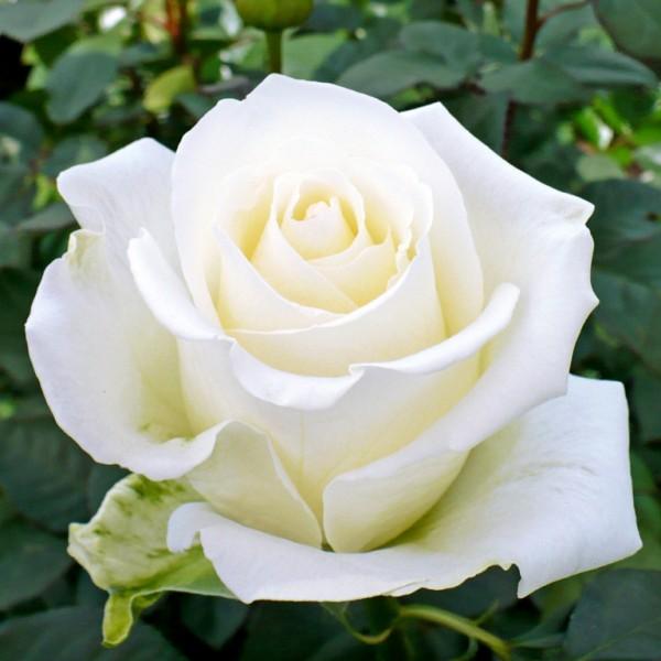 Trandafir Akito - Trandafiri - AgroDenmar.ro