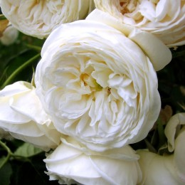 Trandafir Artemis - Trandafiri - AgroDenmar.ro