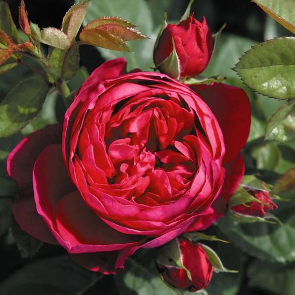 Trandafiri - Trandafir Ascot