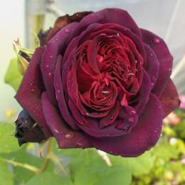 Trandafir Astrid Grafin von Hardenberg - Trandafiri - AgroDenmar.ro