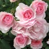 Trandafir Bonica