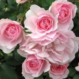 Trandafir Bonica - Trandafiri - AgroDenmar.ro
