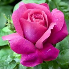 Trandafir Caprice de Meilland