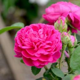 Trandafir de dulceata Rose de Rescht - Trandafiri - AgroDenmar.ro