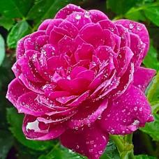 Trandafir de dulceata Sachsengruss