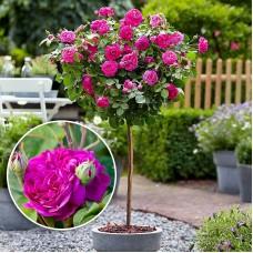 Trandafir de dulceata tip pomisor Rose de Rescht