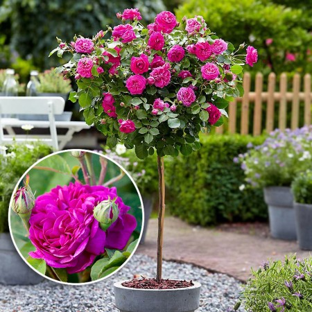 Trandafir de dulceata tip pomisor Rose de Rescht - Trandafiri - AgroDenmar.ro
