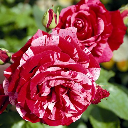 Trandafir Deep Impresion - Trandafiri - AgroDenmar.ro