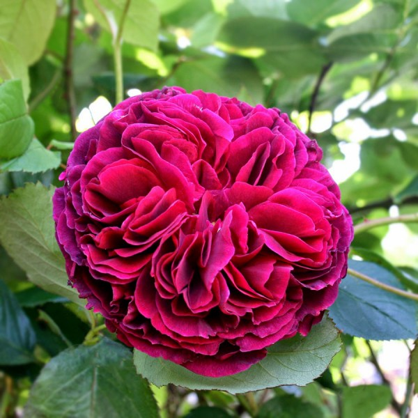 Trandafir Falstaff - in Ghiveci - Trandafiri - AgroDenmar.ro