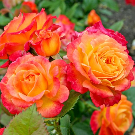 Trandafir Gartenspass - Trandafiri - AgroDenmar.ro