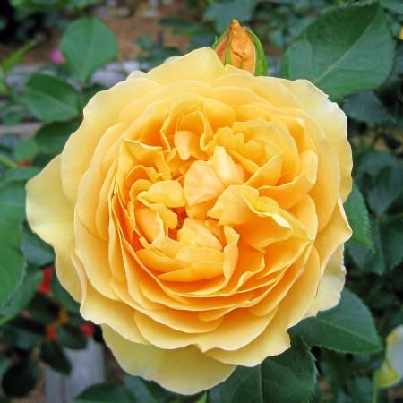 Trandafir Graham Thomas - Trandafiri - AgroDenmar.ro