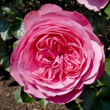 Trandafir Leonardo da Vinci - Trandafiri - AgroDenmar.ro