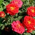 Trandafir pitic Magic Hit