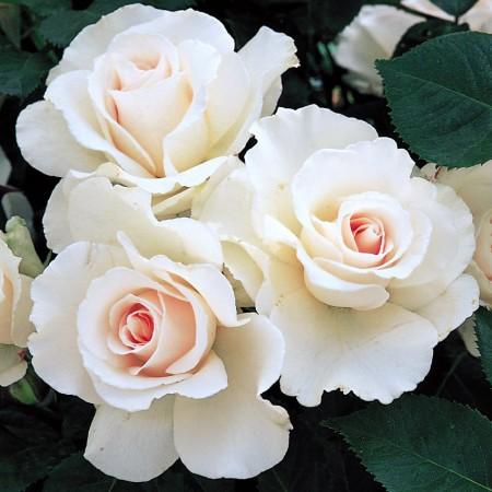 Trandafir Margaret Merril - Trandafiri - AgroDenmar.ro