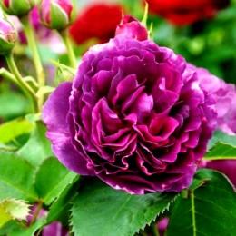 Trandafir Minerva - Trandafiri - AgroDenmar.ro