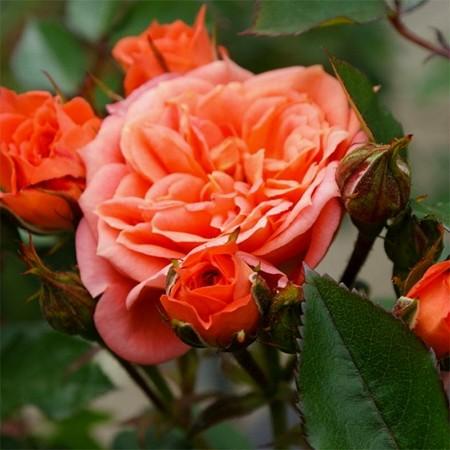Trandafir pitic Ninetta - Trandafiri - AgroDenmar.ro