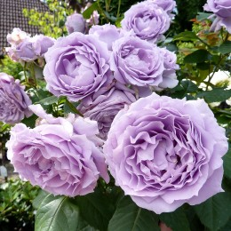 Trandafir Novalis - Trandafiri - AgroDenmar.ro