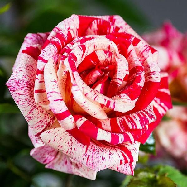 Trandafir Papagena Morinaye - Trandafiri - AgroDenmar.ro