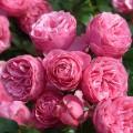 Trandafir Pomponella - in Ghiveci