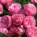 Trandafir Pomponella