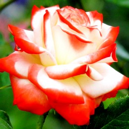 Trandafir Printesa Farah - Trandafiri - AgroDenmar.ro