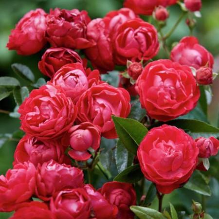 Trandafir pitic Red Morsdag - Trandafiri - AgroDenmar.ro