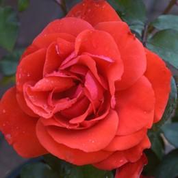 Trandafir Satchmo - Trandafiri - AgroDenmar.ro