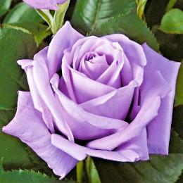 Trandafir Sissi - Trandafiri - AgroDenmar.ro