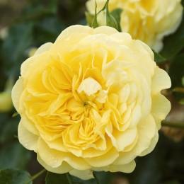 Trandafir Solero - Trandafiri - AgroDenmar.ro