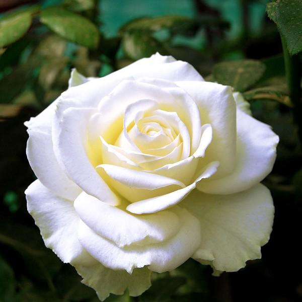 Trandafiri - Trandafir teahibrid Avalanche