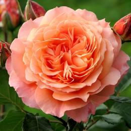 Trandafir teahibrid Belvedere