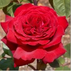 Trandafir teahibrid Botero