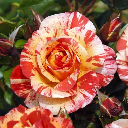 Trandafir teahibrid Broceliande - Trandafiri - AgroDenmar.ro
