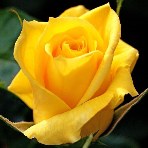 Trandafir teahibrid Fresia - Trandafiri - AgroDenmar.ro