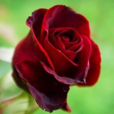 Trandafir teahibrid Grand Gala