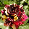 Trandafir teahibrid Hocus Pocus