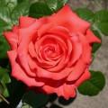 Trandafir teahibrid Holsteinperle - in Ghiveci