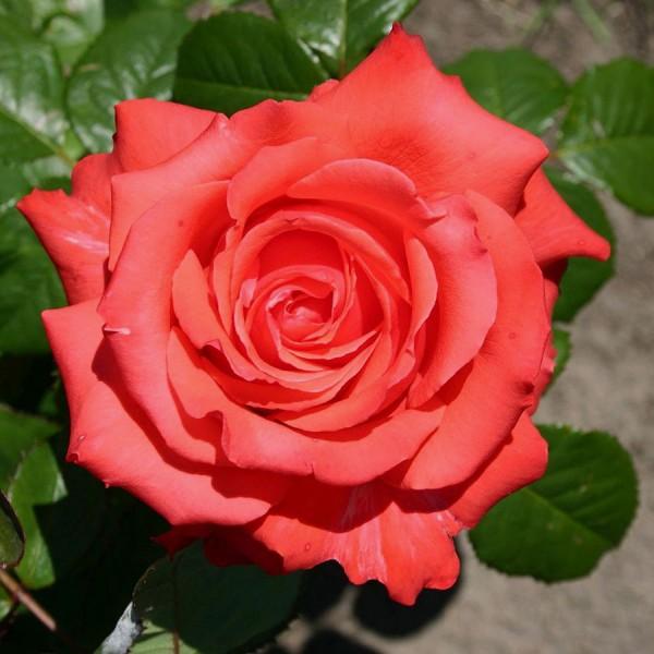 Trandafir teahibrid Holsteinperle - Trandafiri - AgroDenmar.ro
