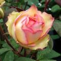 Trandafir teahibrid Jalitah