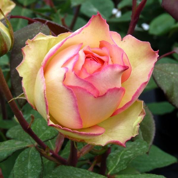 Trandafiri - Trandafir teahibrid Jalitah