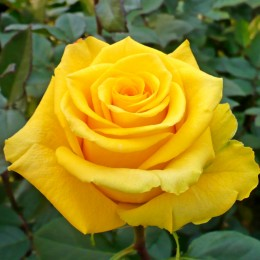 Trandafir teahibrid Kerio