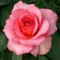 Trandafir teahibrid Mondiale