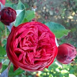 Trandafir teahibrid Piano