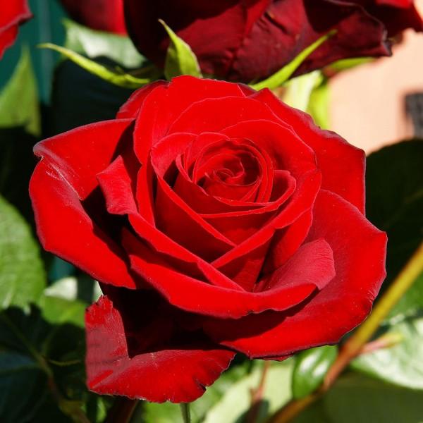 Trandafiri - Trandafir teahibrid Red Berlin
