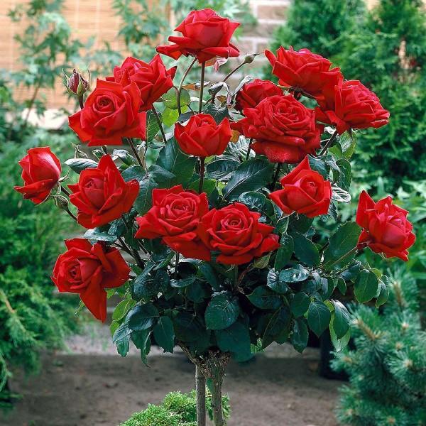 Trandafiri - Trandafir tip pomisor Aida