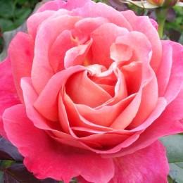 Trandafir tip pomisor Bel Ange - Trandafiri - AgroDenmar.ro