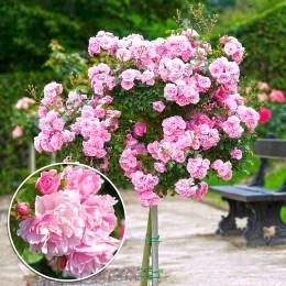 Trandafir tip pomisor Bonica - in Ghiveci - Trandafiri - AgroDenmar.ro
