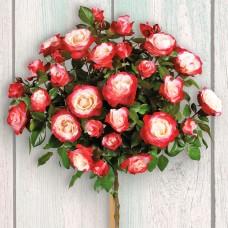 Trandafir tip pomisor Double Delight